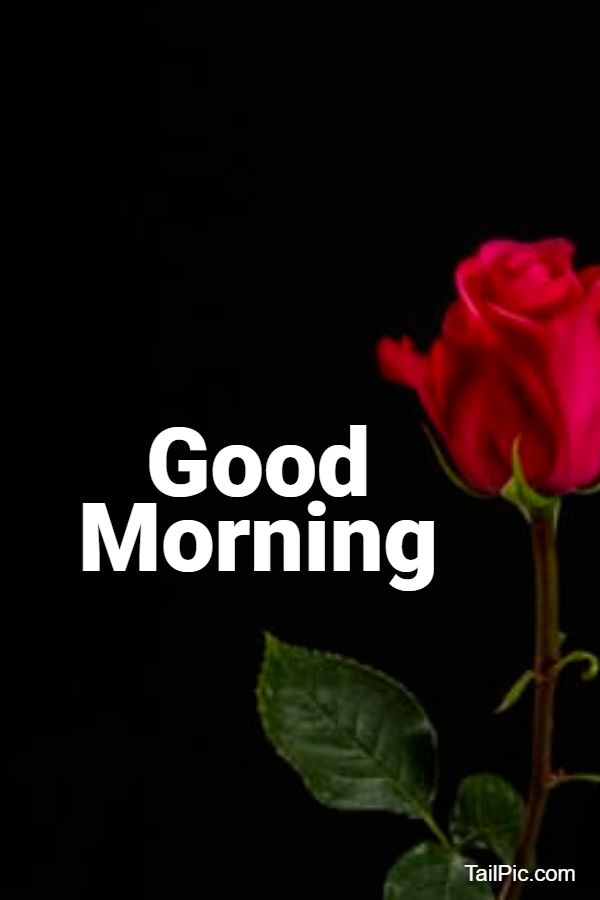 good morning flowers rose